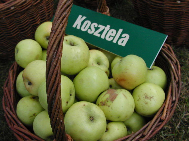 Kosz zielonych jabłek, na jabłkach leży zielona plakietka z napisem Kosztela.