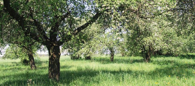 Sad, na pierwszym planie po lewej stronie jabłoń, wokół niej rośnie bujna trawa, w dalszym planie widać inne jabłonie.