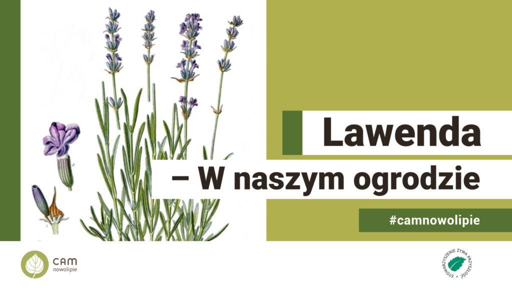 lkrzak lawendy, rycina z zielnika - napis: Lawenda - W naszym ogrodzie