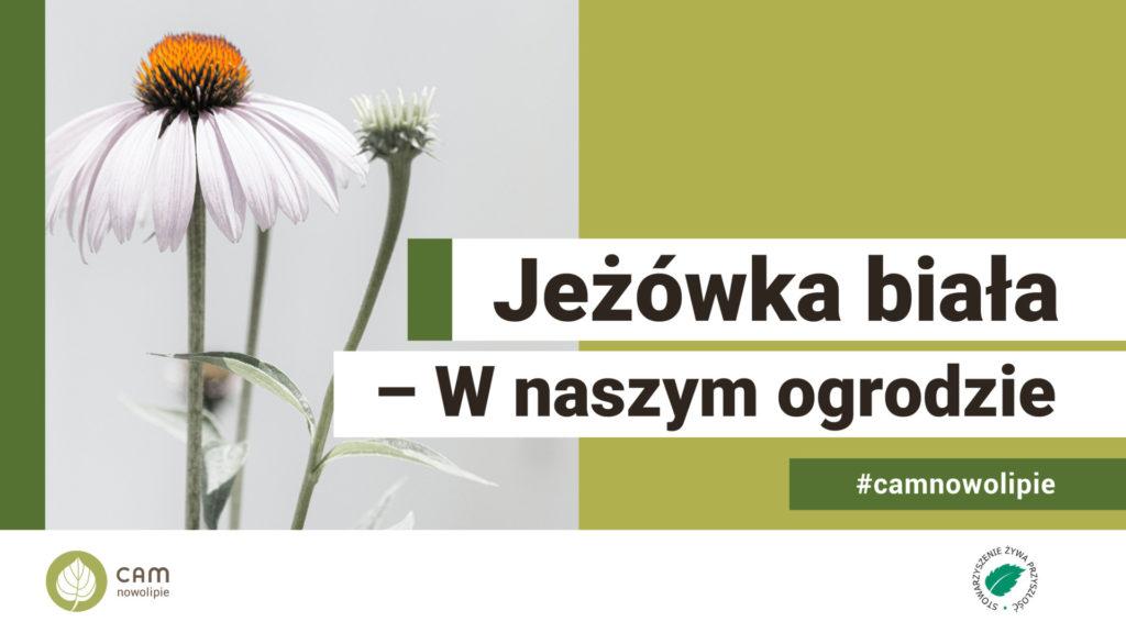biały kwiat i napis jezówka biała