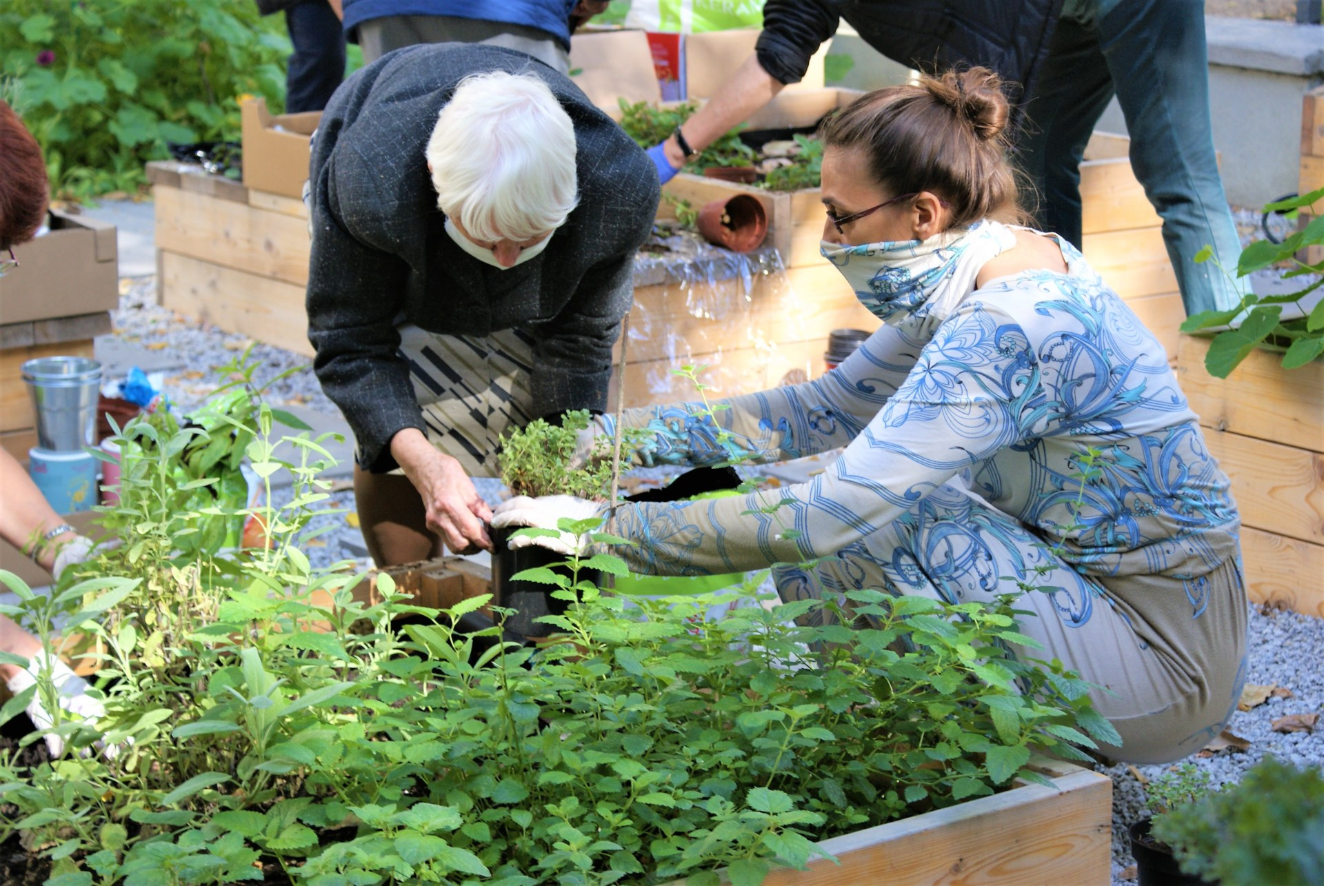 Rozsadzanie sadzonek ziół.