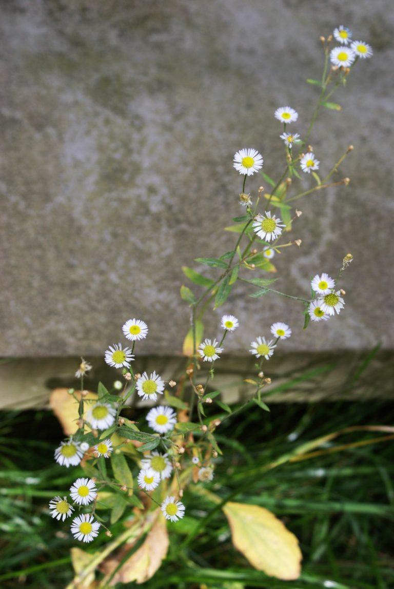 Białe kwiaty.