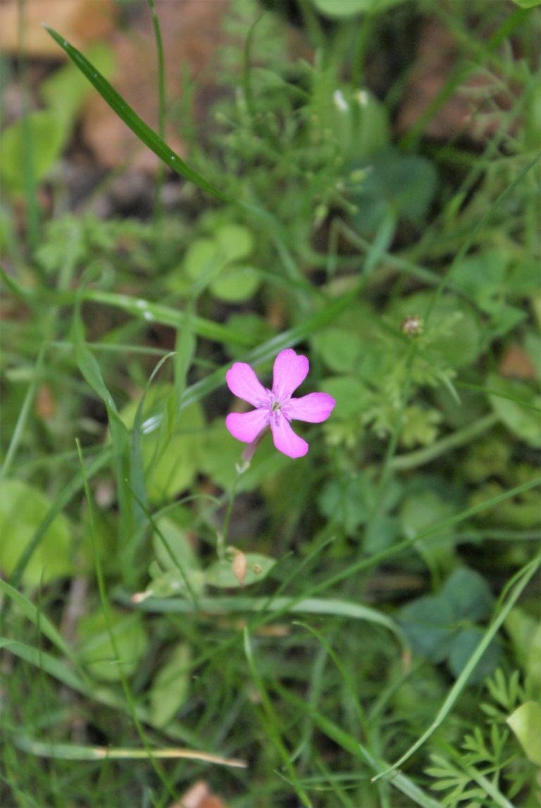 Kwiat dzikiego goździka.