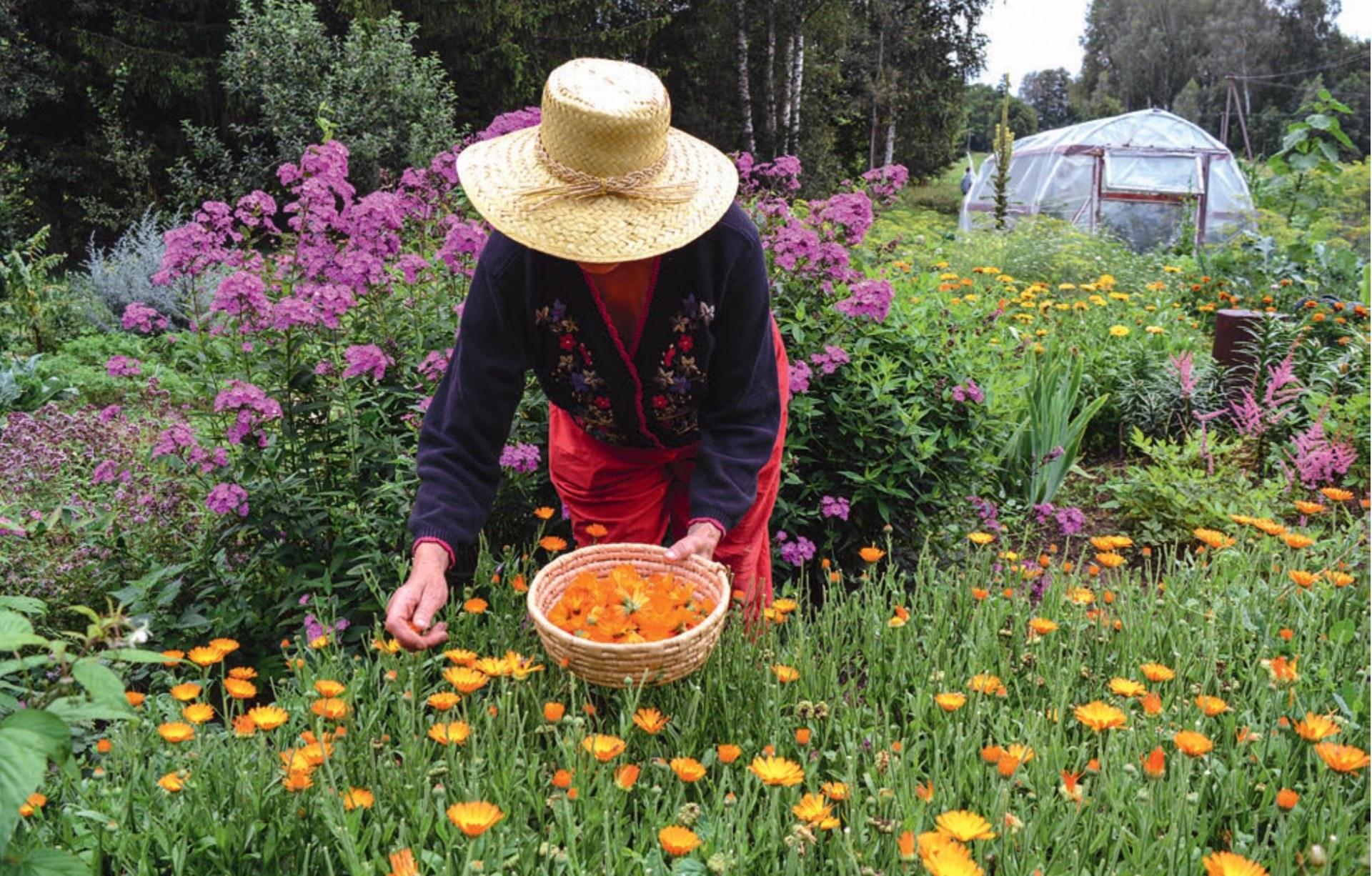 Kobieta w kapeluszu zbiera kwiaty.
