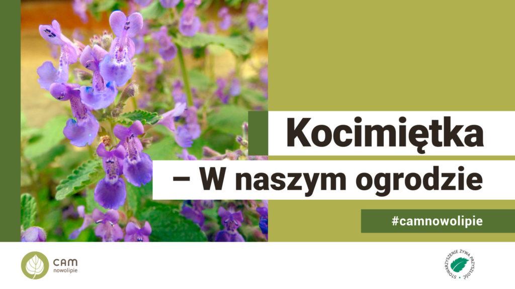 zdjęcie rośliny Kocimietki i tekst Kocimiętka W naszym ogrodzie