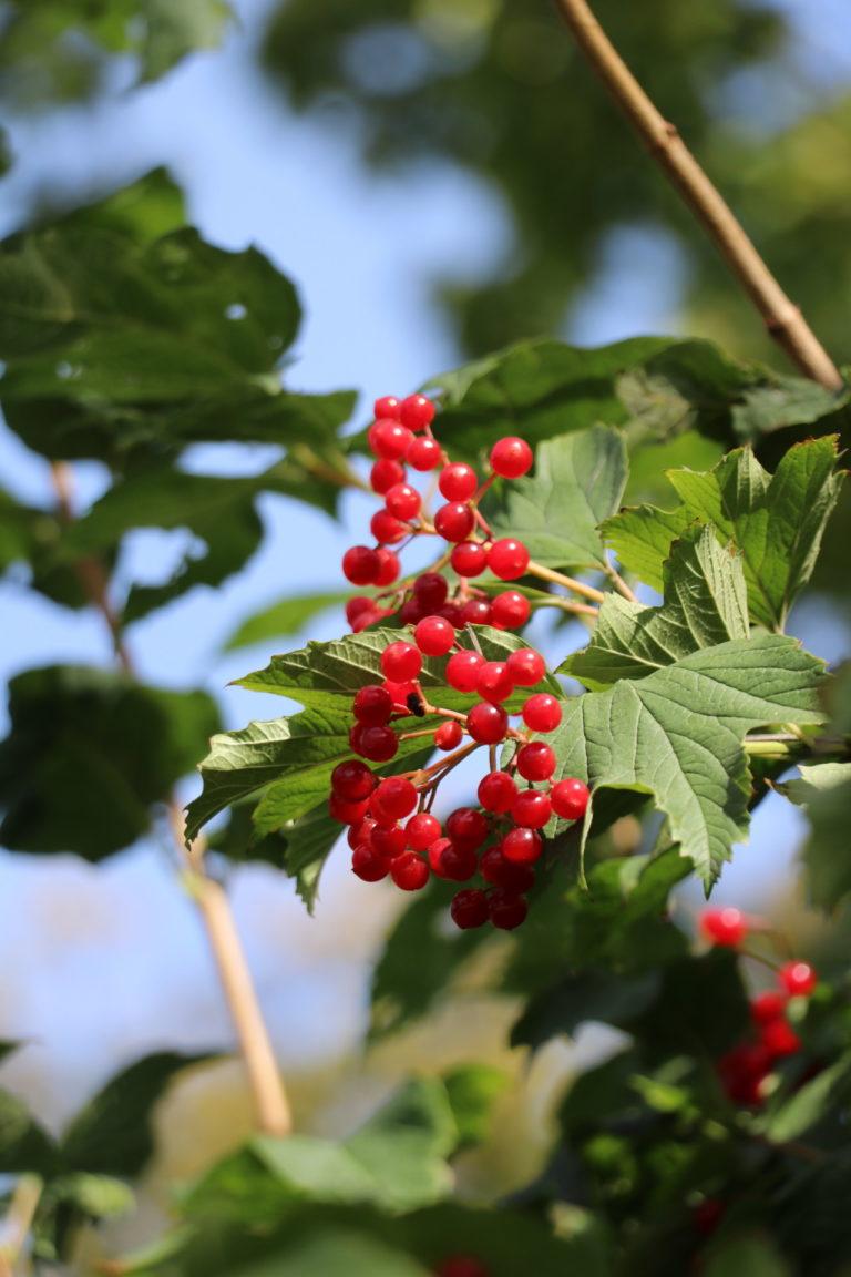 Gałązka z listkami i czerwonymi owocami.