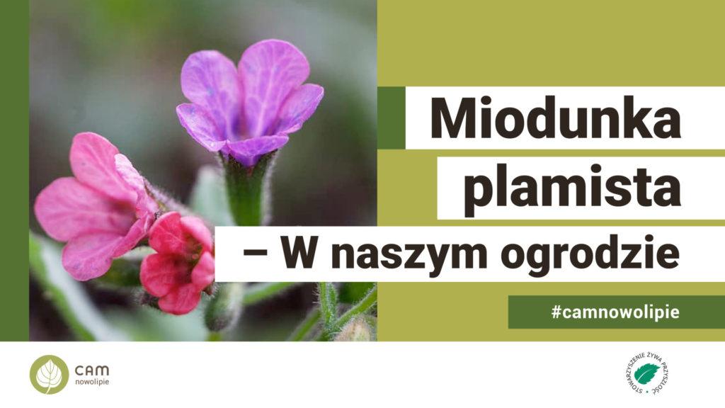 grafika z napisem: Miodunka Plamista - w naszym ogrodzie