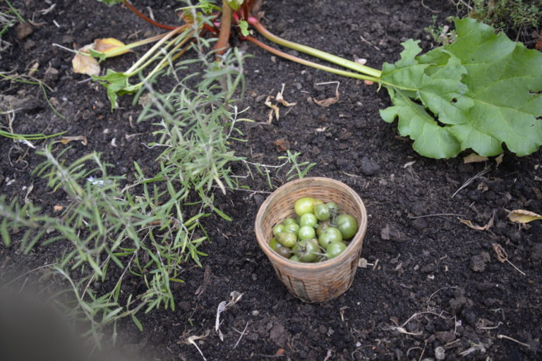 Zielone pomidorki zebrane z krzaków.