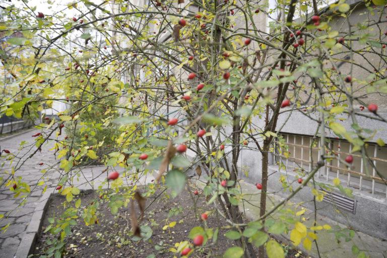 Krzew dzikiej róży z owocami