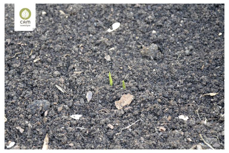 Z ziemi wyrasta zielony pęd.
