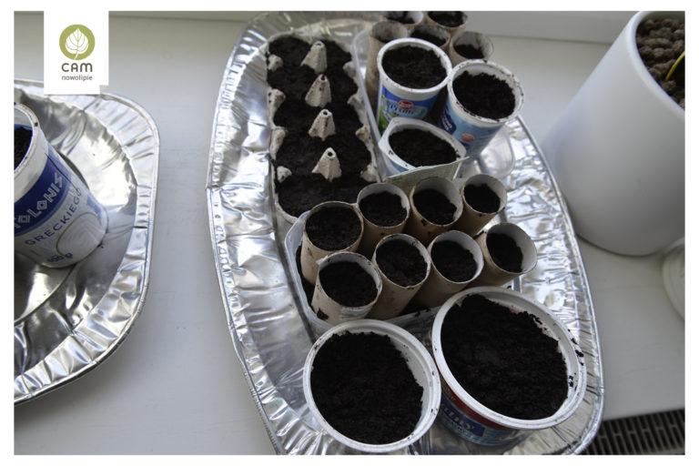 Warzywa posiane w wytłoczkach po jajkach oraz rolkach po papierze toaletowym Ustawione na parapecie.